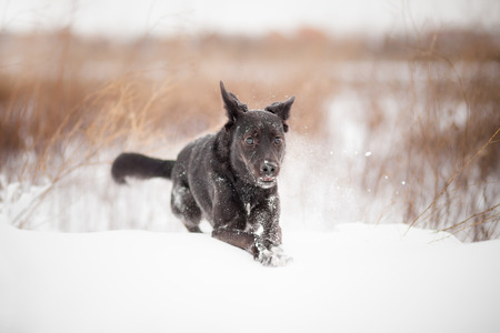 half blooded: mixed breed Dog in snow