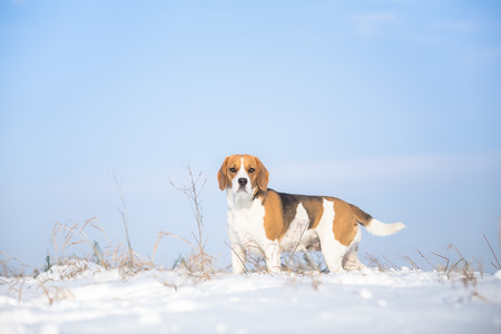 Dog winter background - Beagle Stock Photo