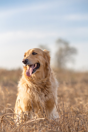 Outdoor portrait of golden retriever
