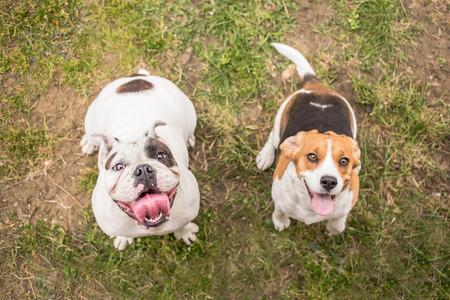 Bulldog and Beagle dog waiting for reward 版權商用圖片