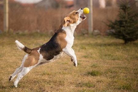 Beagle dog catching ball in jump photo