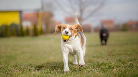 perros jugando: Perros jugando con la pelota - Es primavera Foto de archivo