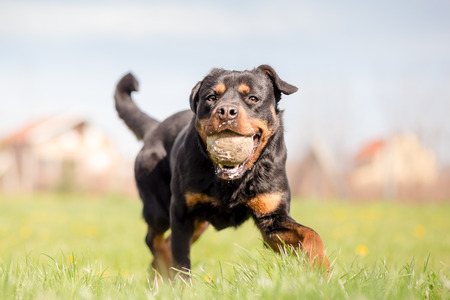 Rottweiler Playing Fetch At Park