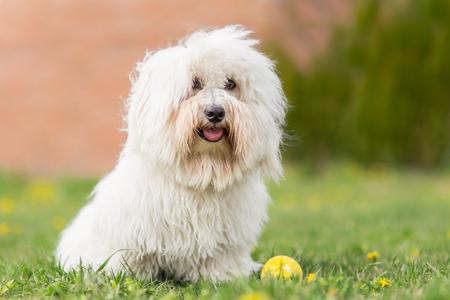 Coton de Tulear dog outdoor portrait Standard-Bild
