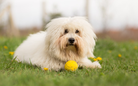 Coton de Tulear dog outdoor portrait Stock Photo