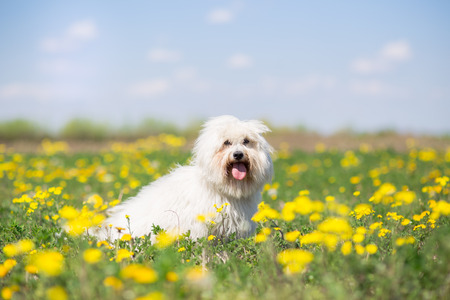 Coton de Tulear dog portrait on bright sunny summer day