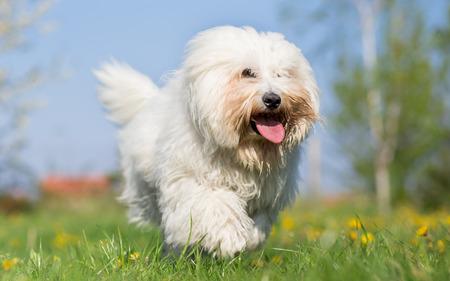 Coton de tulear dog run in spring meadow Standard-Bild