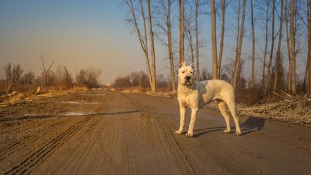 argentino: Dogo argentino in wood Stock Photo