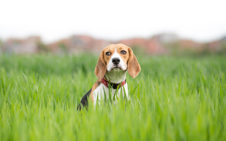 Beagle dog portrait in young green wheat