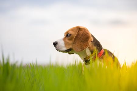 アラートお探しの草原でビーグル犬