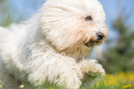 bichon: White Long Haired Dog in run - close catch