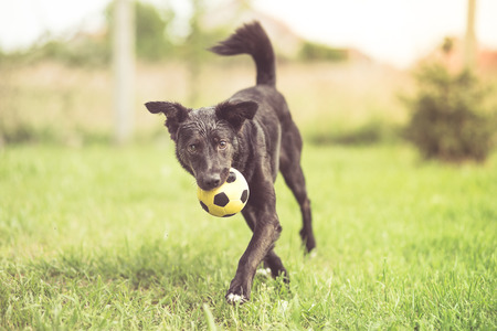 Adopted mixed breed dog playing with soccer ball
