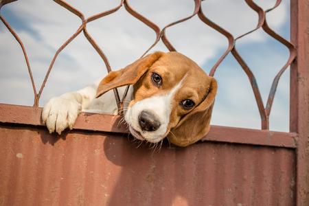 perro asustado: Perro Beagle asom� la cabeza