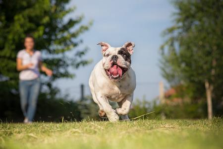 mujer con perro: Jugar con su Bulldog Inglés