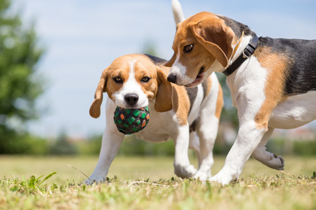 Two Beagle dogs playing with one toy