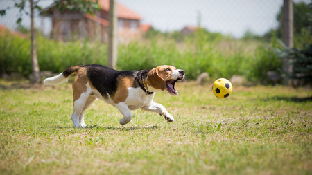 uncoordinated: Dog trying to catch yellow ball