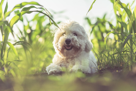 Coton de tulear summer portrait Stock Photo