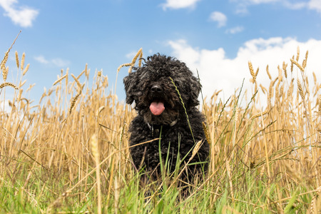 herding dog: PULI - hungarian herding dog in yellow wheat Stock Photo