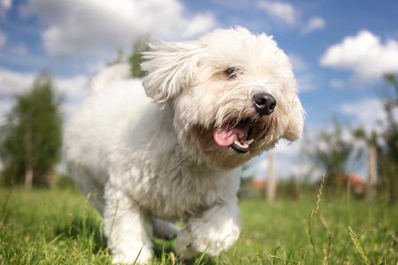 Coton de Tulear dog playing in garden