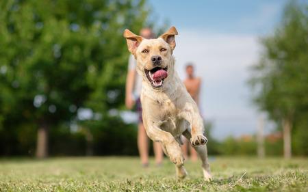 Young Labrador retriever dog in run Stock Photo