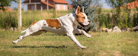 american staffordshire terrier: American staffordshire terrier dog in run