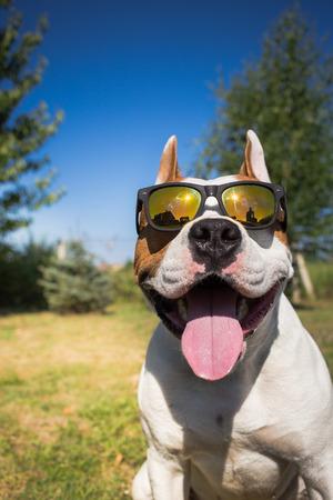 Perro del terrier de staffordshire americano con gafas de sol Foto de archivo - 43175091