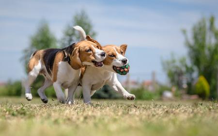 2 匹の犬が 1 つのおもちゃで遊んで 写真素材