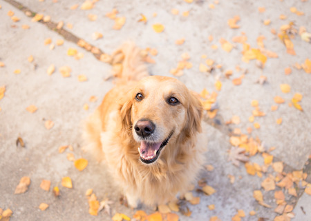 Golden retriever looking at the camera - Autumn background