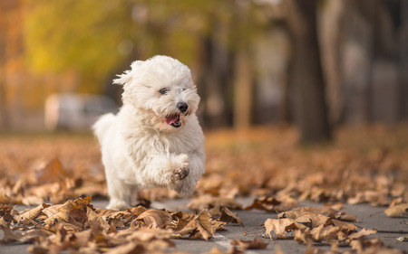 dog run: Little white dog run in park - autumn portrait Stock Photo