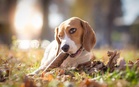 Beagle dog in park chewing on a stick - autumn portrait Stock Photo