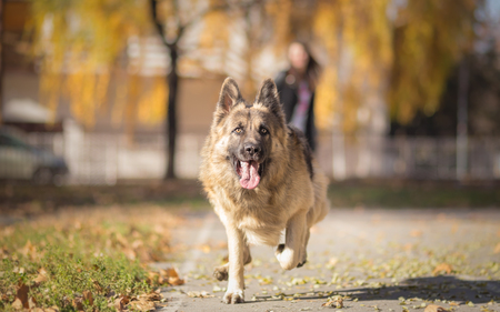 fetch: Playing fetch with Long Haired German Shepherd