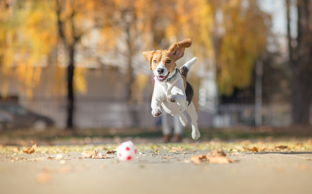 Beagle dog chasing ball and jumping in park Stock Photo
