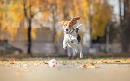 Beagle dog chasing ball and jumping in park 版權商用圖片