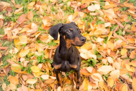 purebred: Obedient puppy purebred doberman pinscher