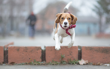 fetch: Playing fetch with beagle dog