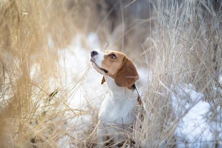 Beautiful Beagle dog winter portrait