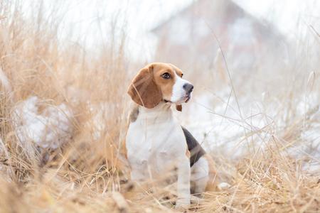 beagle: Beagle dog in nature portrait