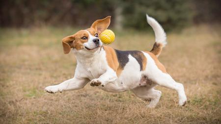 Jugando a buscar con el perro divertido del beagle Foto de archivo - 52173639