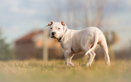pit fall: Completely white American staffordshire terrier puppy