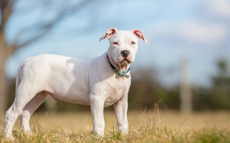 american staffordshire terrier: White American Staffordshire terrier puppy standing on grass