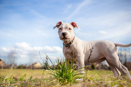 cute dogs: White American Staffordshire terrier puppy standing on grass