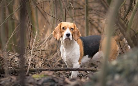 beagle: Beagle dog in forest portrait Stock Photo