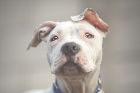 american staffordshire terrier: White American Staffordshire terrier puppy Stock Photo