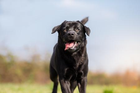 黒ラブラドル ・ レトリーバー犬のドッグラン - フォーカスの鼻