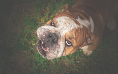 muscly: Angry English Bulldog looking up - Get that camera out of my face Stock Photo