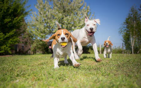 beagle terrier: Group of dogs running over the lawn Stock Photo