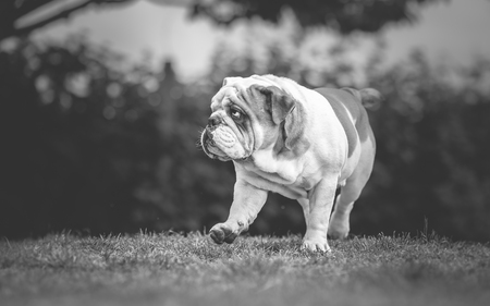 life guard stand: English Bulldog walking in garden
