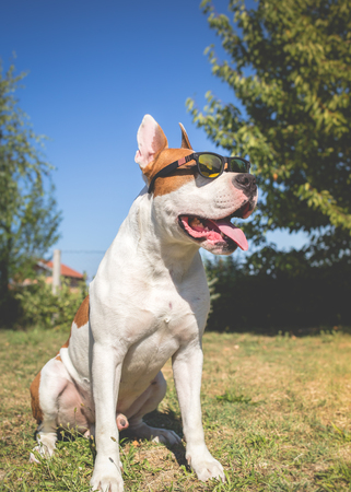 american staffordshire terrier: American staffordshire terrier dog wearing sunglasses