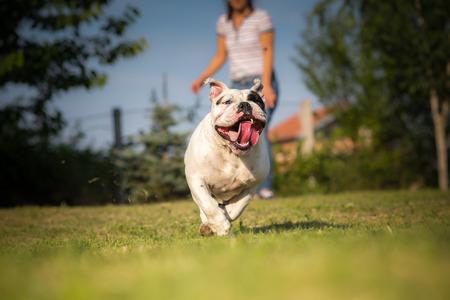 english girl: Girl playing with English Bulldog