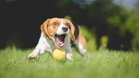 fetching: Funny Beagle dog fails to catch ball